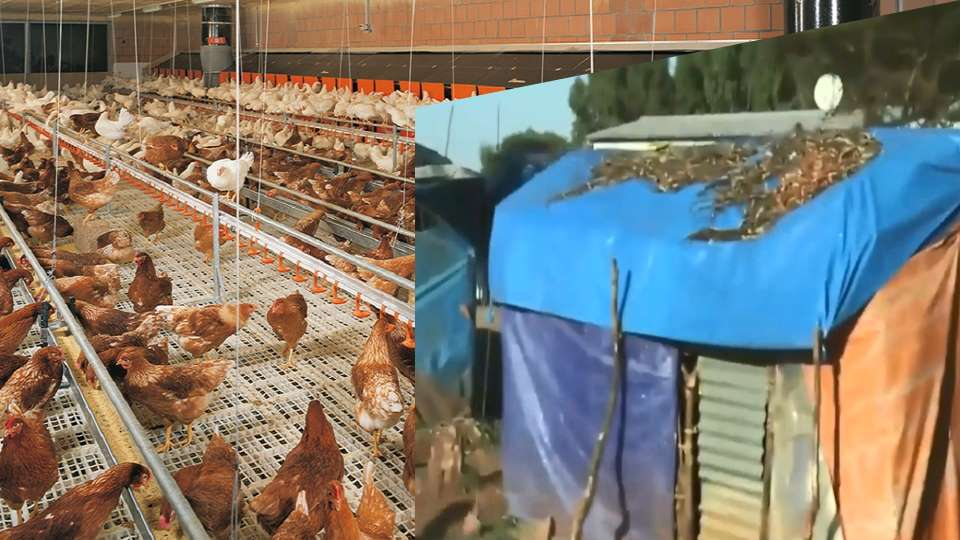 The Shocking Story of Oromo Displaced Persons: Chicken Live Better and Safer!